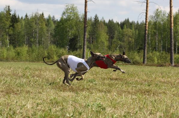 Jyväs-Coursing-Erja Vehkasalo